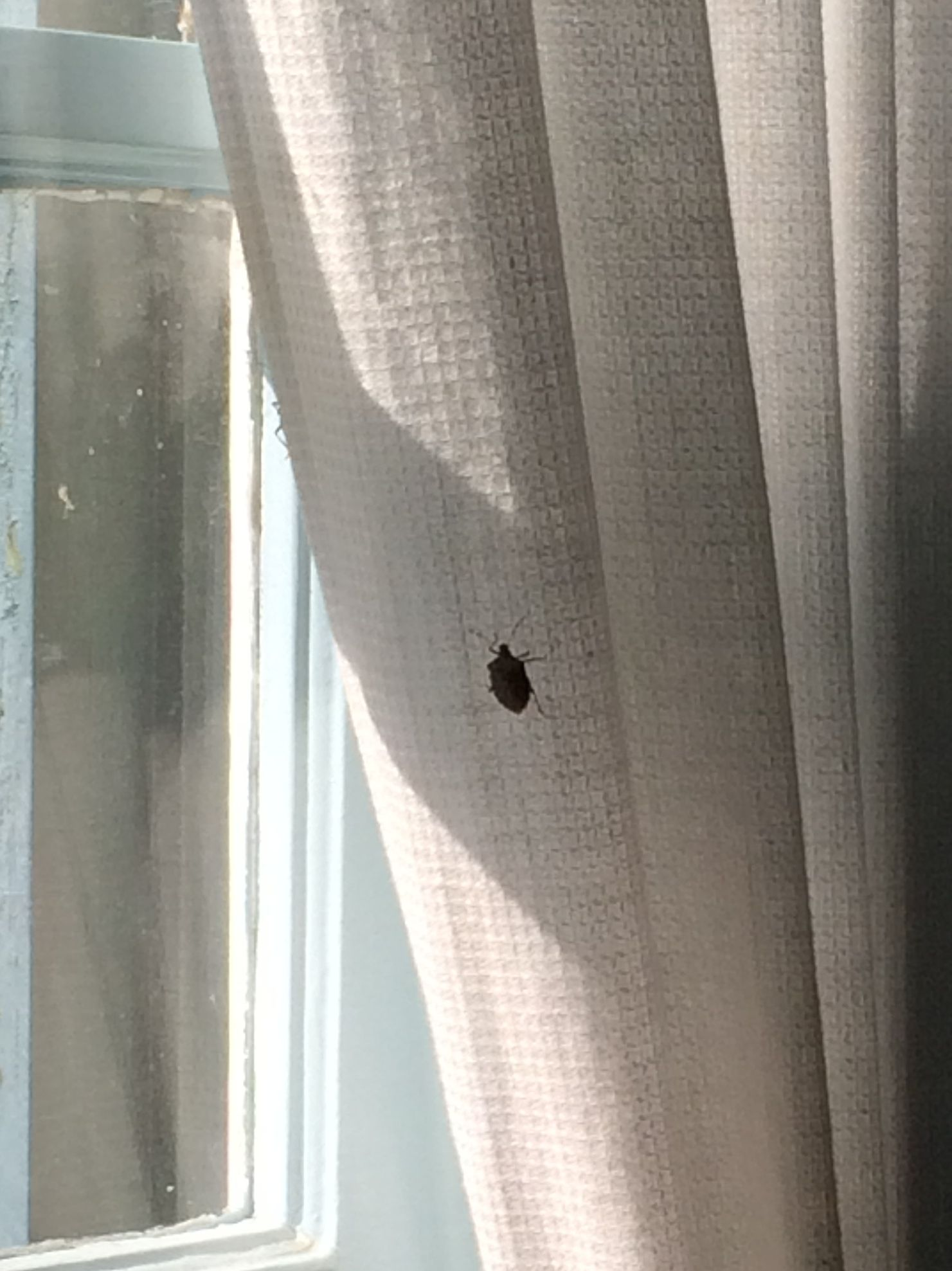 Stink Bug on the Curtain