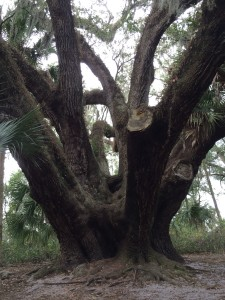 300 Year Old Live Oak