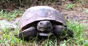 Tortise front view