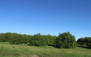 Just a sampling of the orange groves