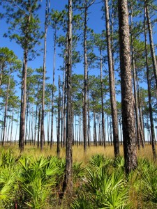 Saw palmetto, pines and grass