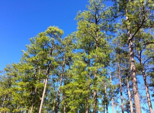 Pine trees and blue skies
