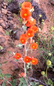 orange flowers in lava field