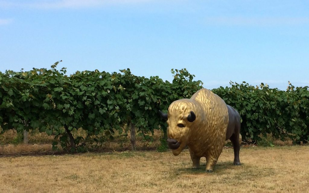 Buffalo in a vineyard